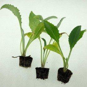 Plantero alcachofa Lorca