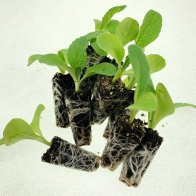 Plantero borraja Movera