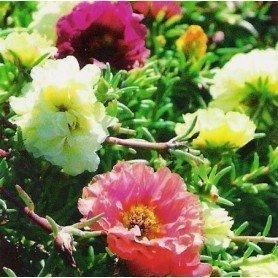 Portulaca grandiflora doble 1 g