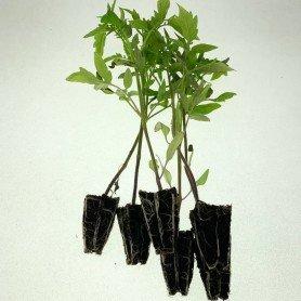 Plantero Tomate malpica