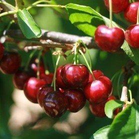Cherry me lapins