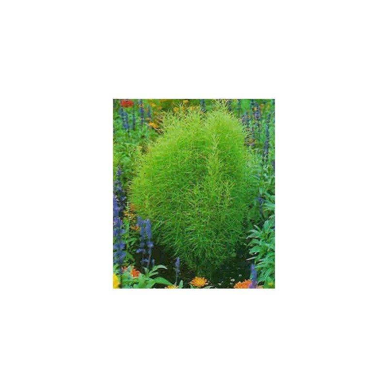 Kochia trichophylla