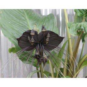 Tacca chantrieri black beauty