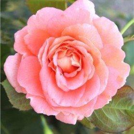 Rosa Bonita ct