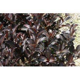 Weigelia florida alexandra 3L