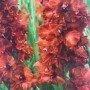 Gladiolos Charmberry