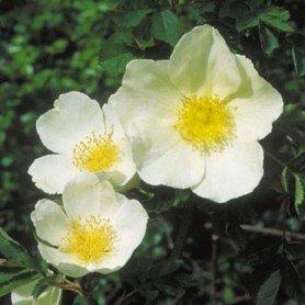 Rosa Frunhlingsgold