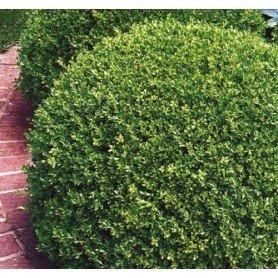 Buxus sempervirems C-2.5 l