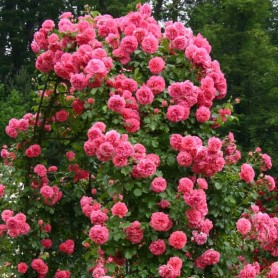 Rosa Rosarium Uetersen