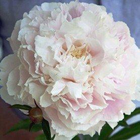 Peonia lactiflora Shirley Temple