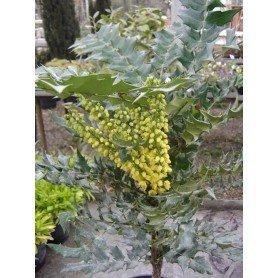 Mahonia aquifolium C-14l