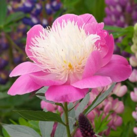 Peonia Bowl of beauty 1 ud