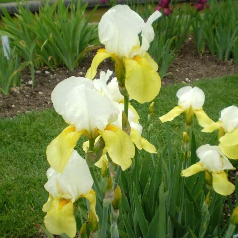 Iris Germánica Pinnacle