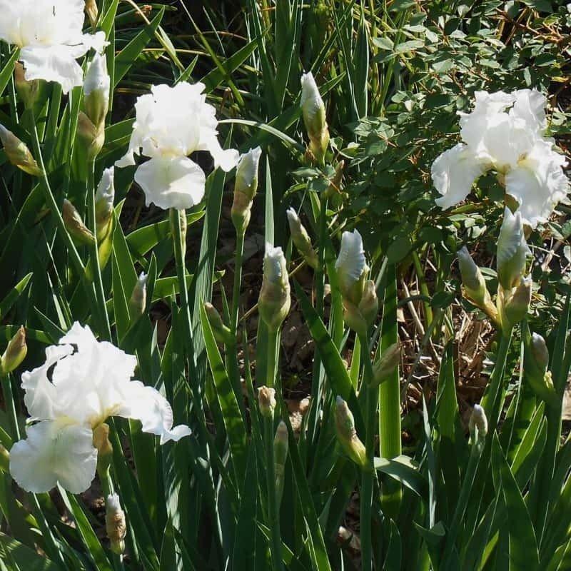 Iris germanica Immortality