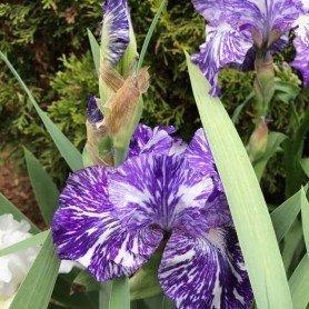 Iris Germanica Batik