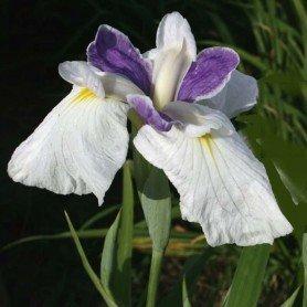 Iris ensaya Fortune