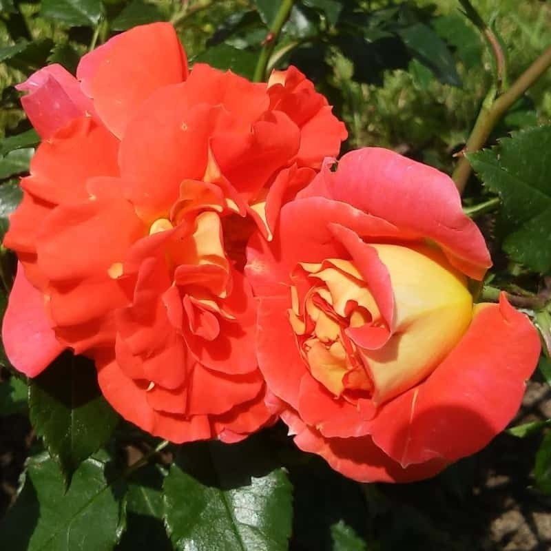 Rosa Gebruder Grimm