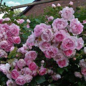 Rosa trepadora Jasmina