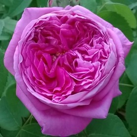 Rosa yolanda de Aragon rd