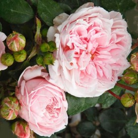 Rosa Cinderella
