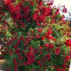 Rosa Rambling rosie