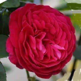 Rosa Ascot