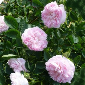 Rosa Alba Maiden´s Blush