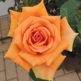 Rosa Ashram