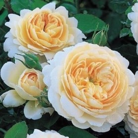 Rosa Crocus Rose