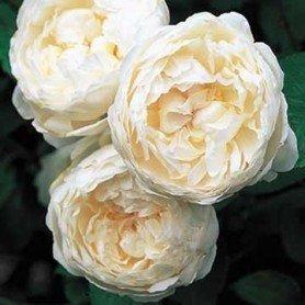 Rosa Glamis Casthe