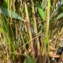 """Fargesia robusta """"Pingwu"""""""