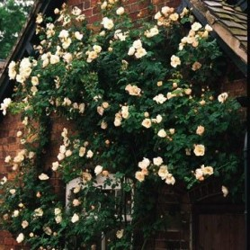 Rosa Shropshire Lass Clg Ct