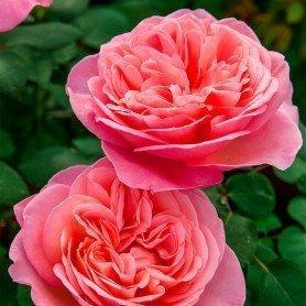 Rosa Mademoiselle Meilland