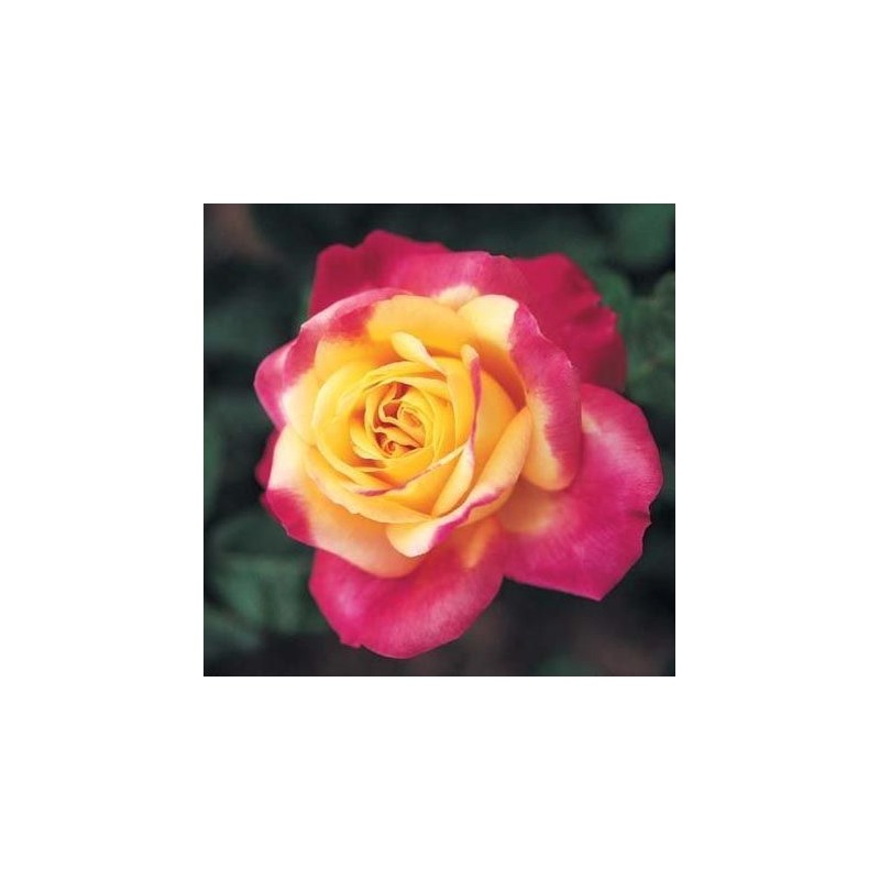 Rosa Pullman orient express