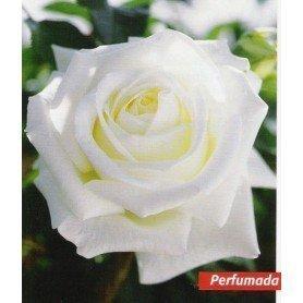 Rosa Pau Casals