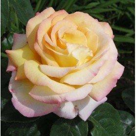 Rosa de la paz. M. Meilland