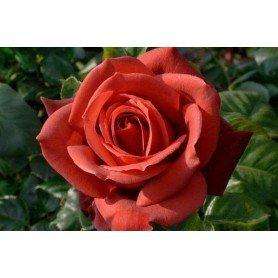 Rosa Terracota
