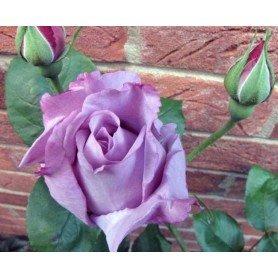 Rosa Blue moon ct