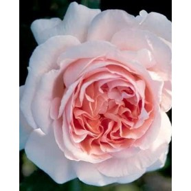 Rosa Andre le Notre trep