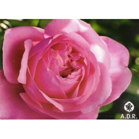 Rosa Line Renaud