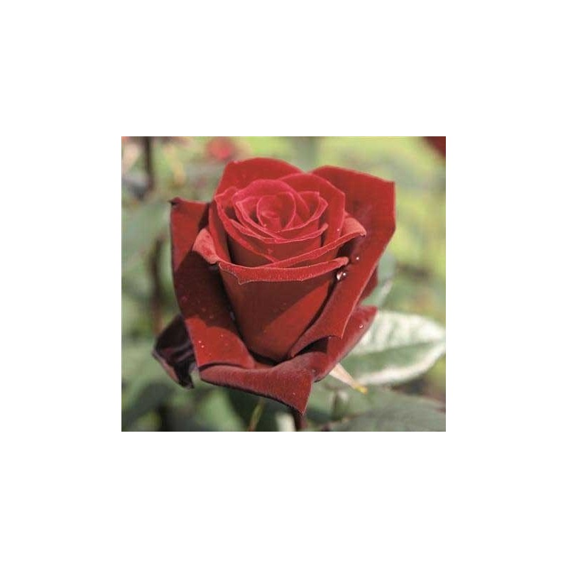 Rosa Barkarole ct