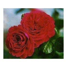 Rosal paisajistico Red Leonardo da Vinci
