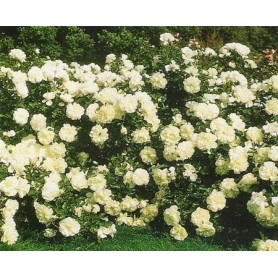 Rosal paisajistico White Meidiland