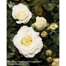 Rosa Marvellous