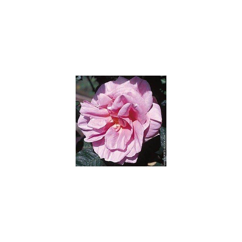 Rosa Delicia