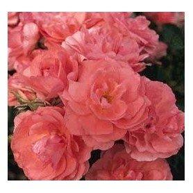 Rosa Jardins de France