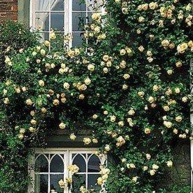 Rosa Lady Hillington clg ct