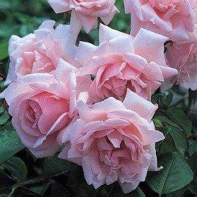 Rosa New Dawn clg