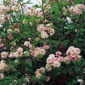 Rosa Pauls Himalayan Musk clg