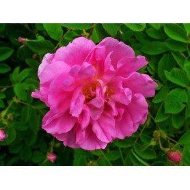 Rosa damascena, rosa de Alejandria ct